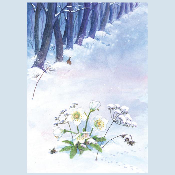 Postkarte - Christrose - Waldow Verlag